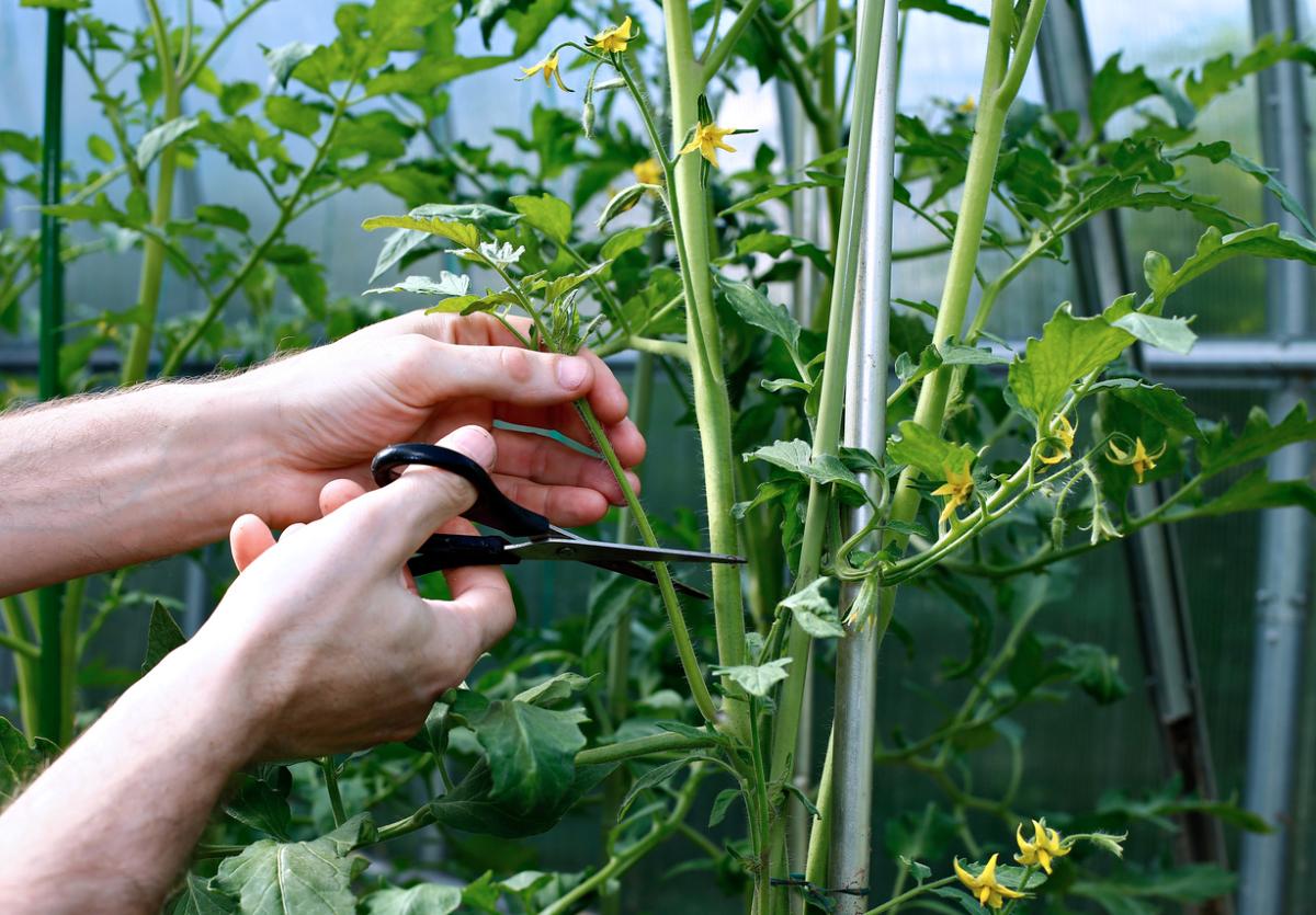 Как прищипывать помидоры обламывание верхушек помидор 60