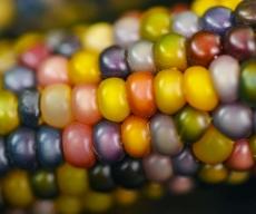 Corn-Glass-Gem-LSS-000_5029-LR-effects