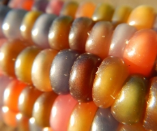 Glass-Gem-Corn-Up-Close