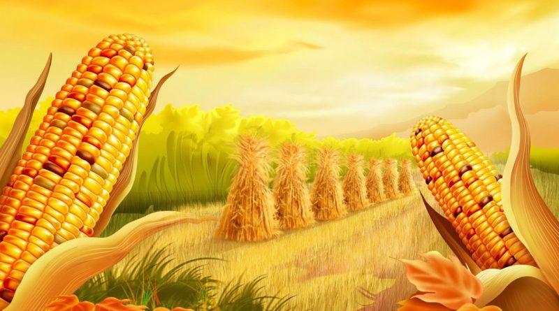 Кукуруза на приусадебном участке