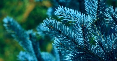 Елка на даче - как посадить, полив и уход