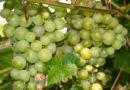 Виноград для холодных регионов