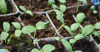 Почему не проклевываются семена арбуза?