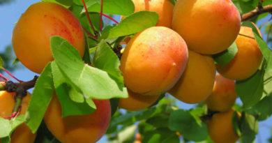 Выбираем хороший сорт абрикосов для посадки в саду