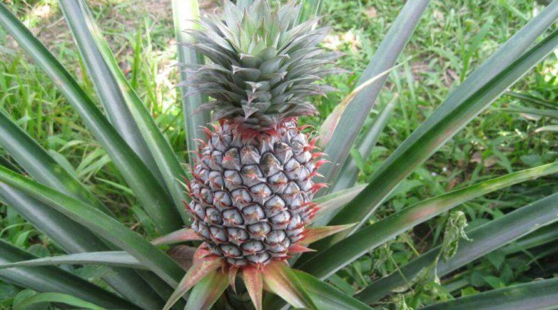 Выращиваем ананас дома на подоконнике