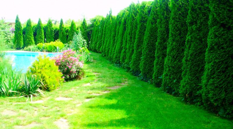 Декоративные деревья для дачного участка