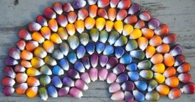 Цветная кукуруза – она съедобна?