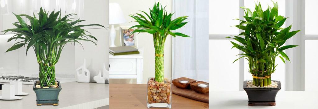 Как посадить и вырастить бамбук?