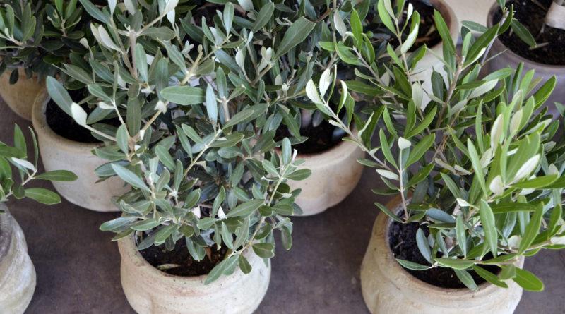 Оливковое дерево дома