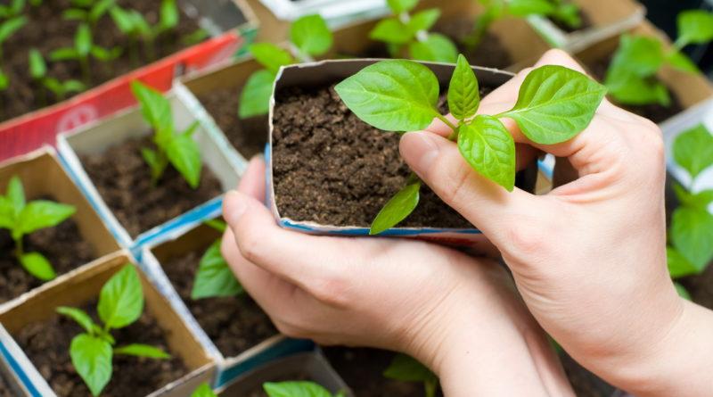 Что выгодней: купить готовую рассаду или вырастить самостоятельно?