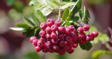 Рябина - как посадить и вырастить, целебные свойства