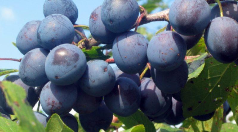 Тернослива - особенности посадки, популярные сорта