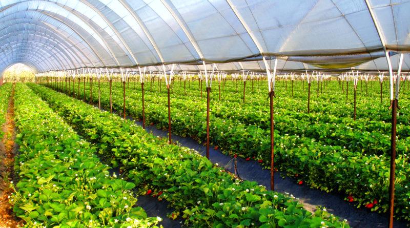 Что лучше выращивать в теплице