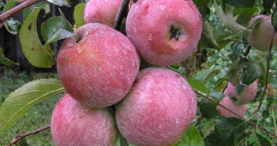 8 лучших сортов яблонь